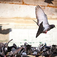 Pigeons outside St. Stephen's Cathedral in Vienna, Austria.