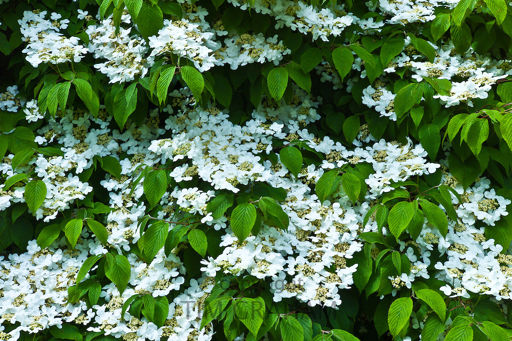 White lacecap hydrangea in a garden in County Cork, Ireland