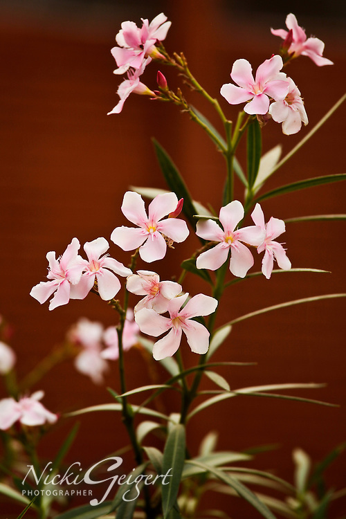 Portrait of a plant with pink flowers, India. Nature photography prints for sale. Fine art photography wall art.