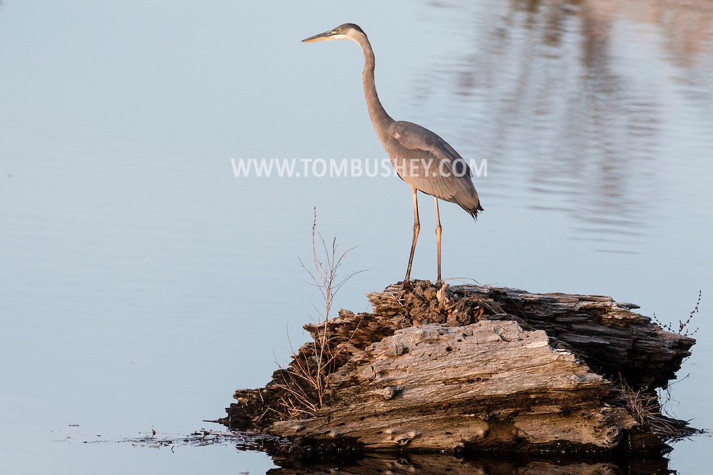 A great blue heron hunts for fish in a lake in Middletown, New York.
