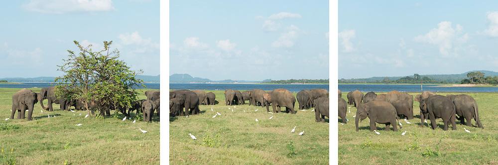 Minneriya Elephants Triptych
