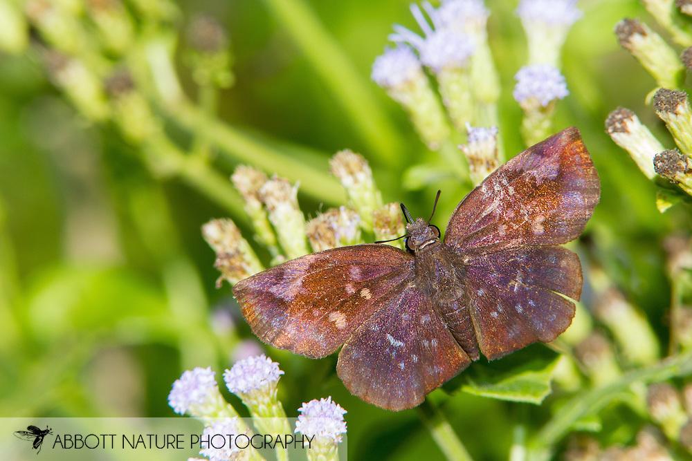 Sickle-winged Skipper (Eamtis tamenund) - male<br /> TEXAS: Cameron Co.<br /> Resacca De La Palma State Park<br /> 9-Nov-2014<br /> J.C. Abbott &amp; K.K. Abbott