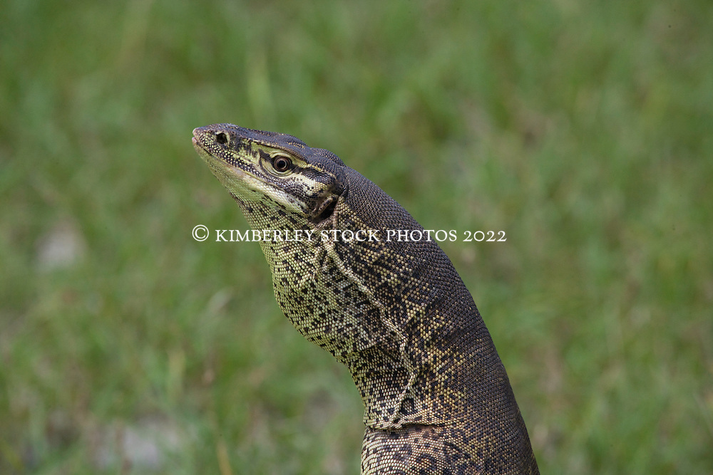 A goanna stands defending its ground on Roebuck Plains, south of Broome, in the Kimberley wet season.  Goannas are prized as good eating by local Aboriginal people.