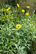 Rudbeckia one of the daisy type perennials flower in garden setting, UK