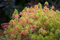 The autumn foliage of Euphorbia epithymoides syn. E. polychroma - spurge.