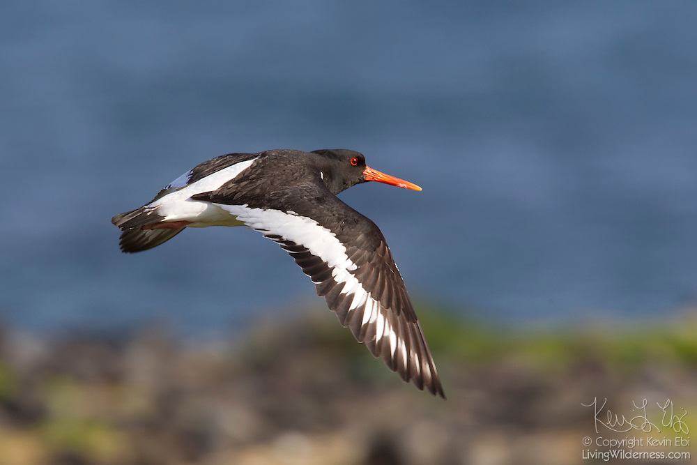 A Eurasian oystercatcher (Haematopus ostralegus) flies along the Atlantic coast in southwest Iceland. The oystercatcher is the national bird of the nearby Faroe Islands, where it is called tjaldur.