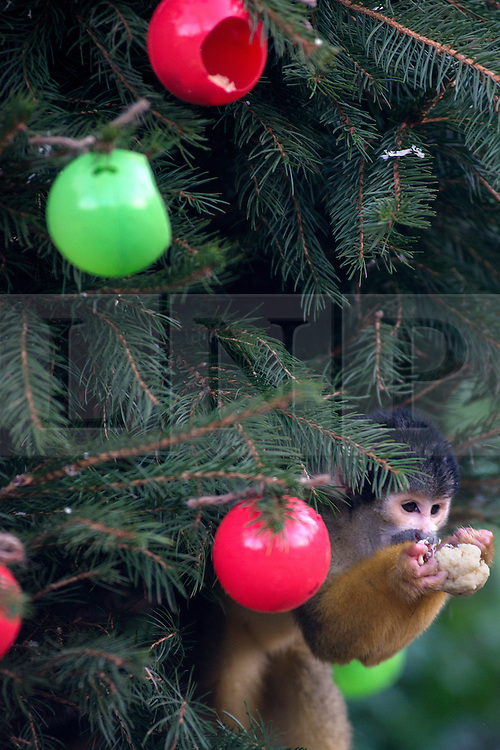 © Licensed to London News Pictures.18/12/2013. London, UK. Squirrel monkeys eat 'christmas gift' snacks on their own Christmas tree at the ZSL London Zoo.<br /> Zookeepers stuff the tree's baubles with the monkeys' favourite snack of silkworms and crickets.Photo credit : Peter Kollanyi/LNP