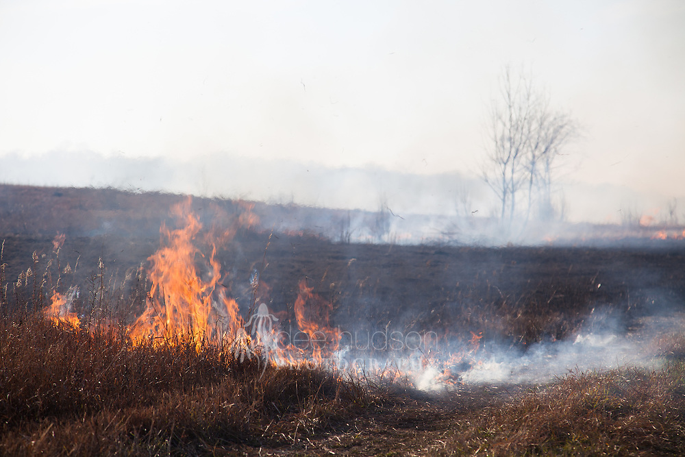 Prairies were historically a fire–swept landscape, where prairie plants evolved with fire. The fire is needed to stimulate the prairie plants to seed and bloom. In restoration, it is also important to restore the natural process that shaped the prairie.