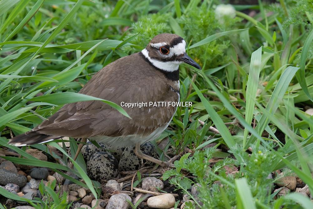 Killdeer in grass on top on eggs in rocks