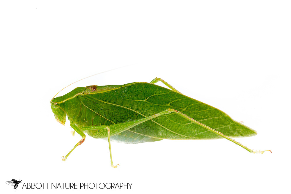 Lesser Angle-winged Katydid (Microcentrum retinerve)<br /> United States: Alabama: Tuscaloosa Co.<br /> Tulip Tree Springs off Echola Rd.; Elrod<br /> 20-Aug-2016<br /> J.C. Abbott #2859