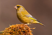 Greenfinch (Carduelis chloris). Spain.