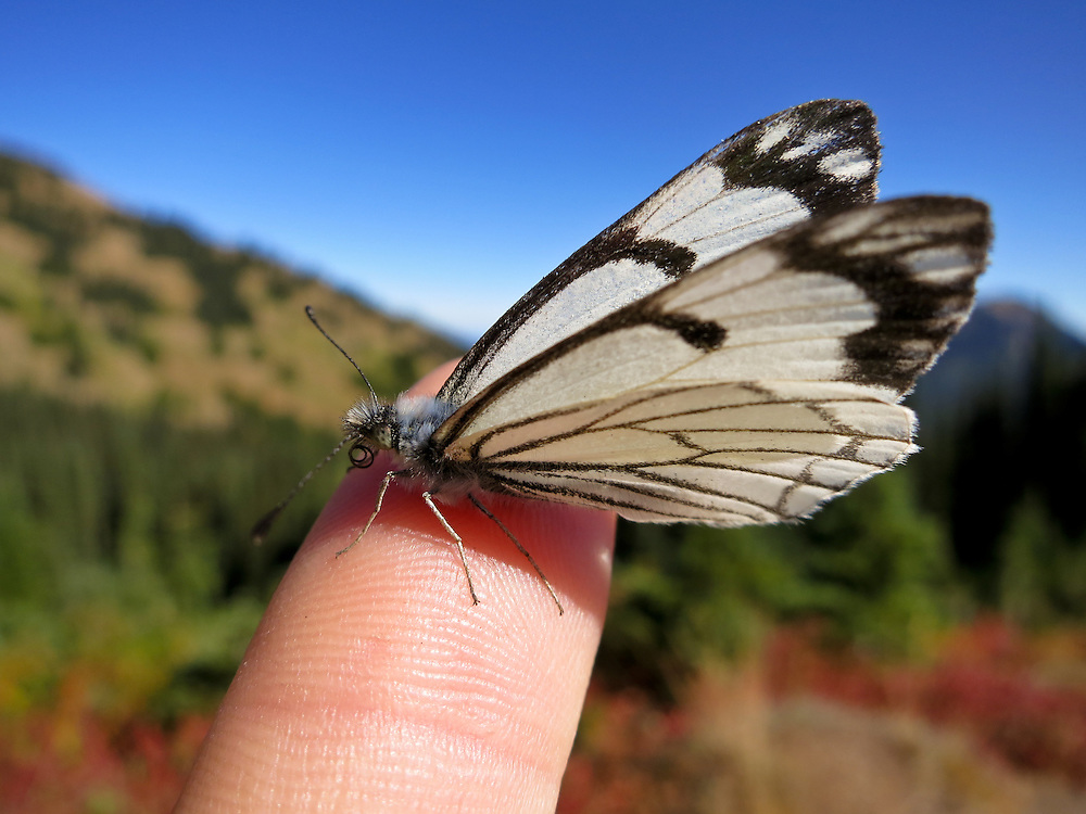 A pine white butterfly landing on my finger in September on Hurricane Ridge, Olympic National Park