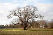 Single large leafless oak tree standing in field in winter, Sutton, Suffolk, England
