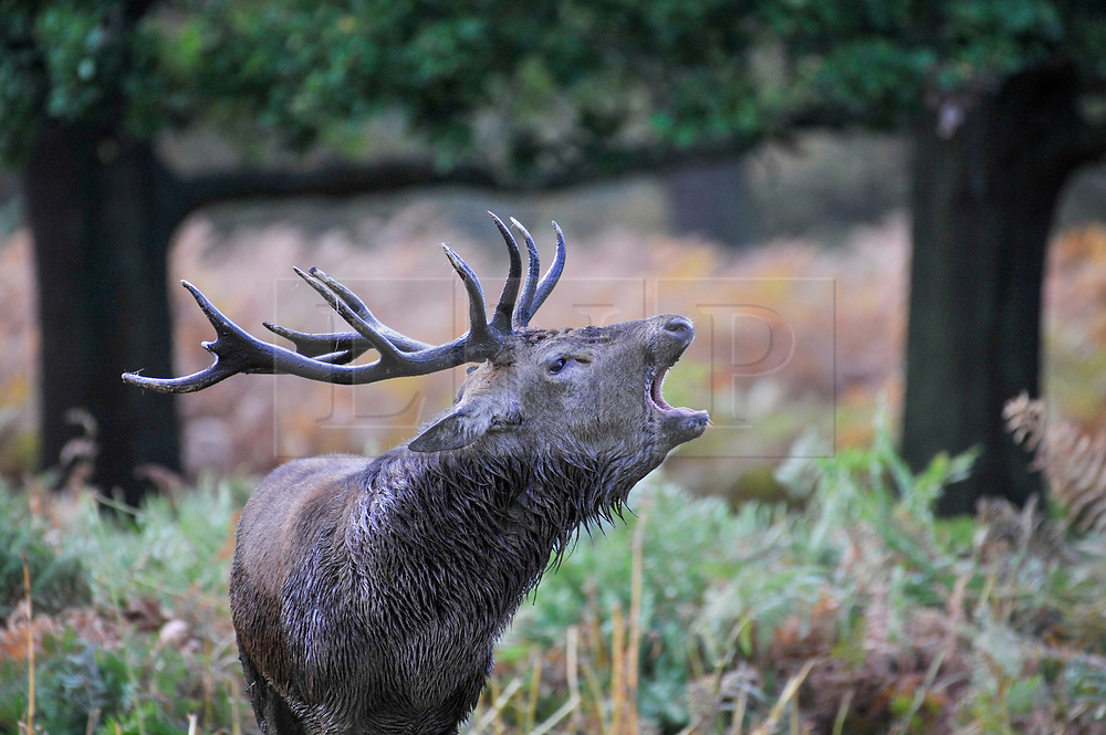 © Licensed to London News Pictures. 04/10/2017. London, UK.  A stag roars as red deer take part in the annual rut in Richmond Park, which occurs during October and November.  Photo credit : Stephen Chung/LNP