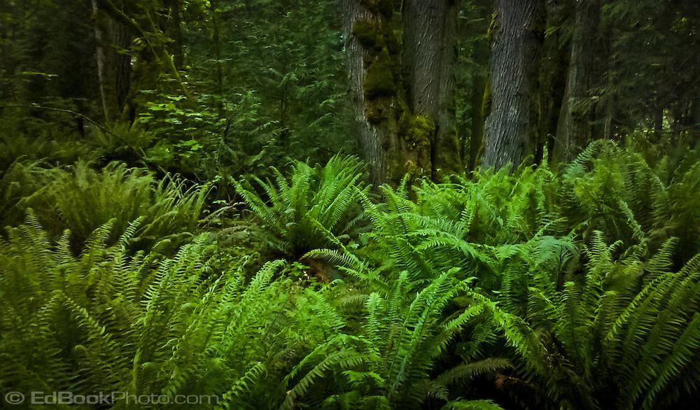 sword fern understory in the forest