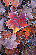 Frosted fall leaves