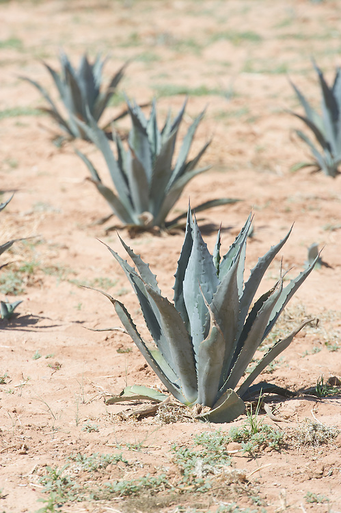 Agave plant test plots in the field Maricopa Arizona