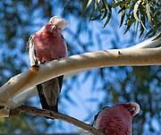 Galah, a variety of Cockatoo