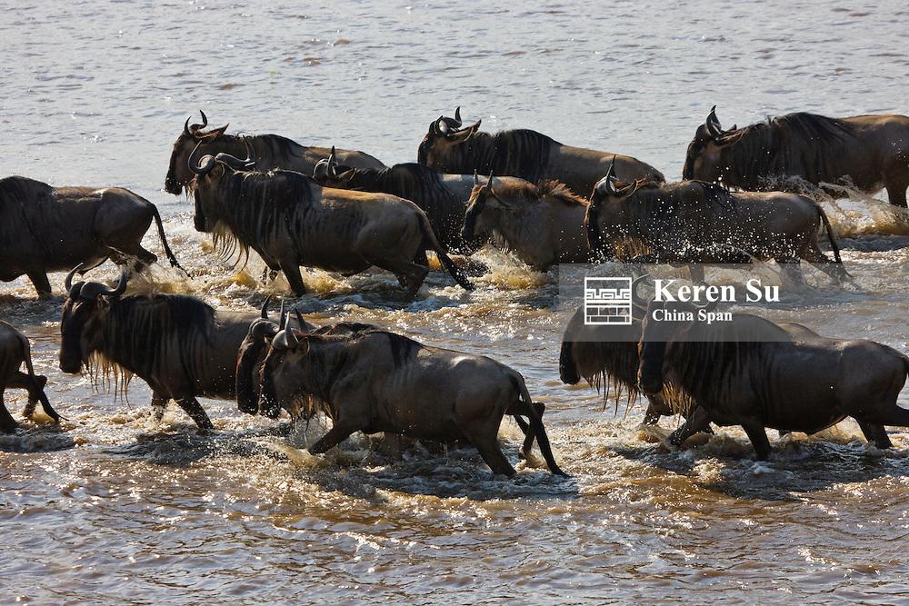 Wildebeest migration, crossing the Masai River, Masai Mara, Kenya