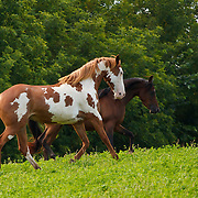 Paint Arabian horse running in grassy pasture