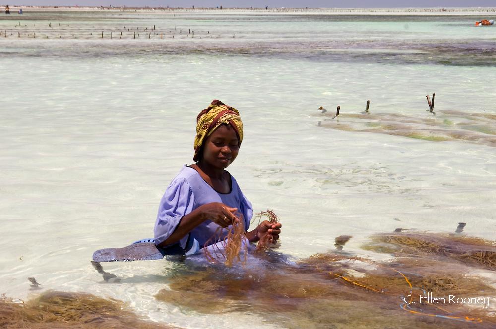 A woman dressed in a colourful dress and headscarf sitting in the sea harvesting seaweed.  Paje, Zanzibar, Tanzania