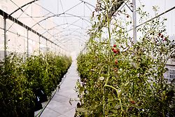 September 28, 2018 - Paris, France - The company Sous les fraises®, specializing in the organic food production in an urban area, installs the first greenhouse on a roof of Paris – France on Spetember 28, 2018  (Credit Image: © Daniel Pier/NurPhoto/ZUMA Press)