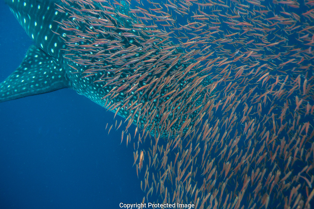 Whale shark (Rhincodon typus) with shoal of red fish evading predation, Honda Bay, Palawan, the Philippines.