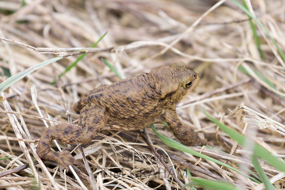 Toad, Bufonidae, in marshland in North Norfolk, UK