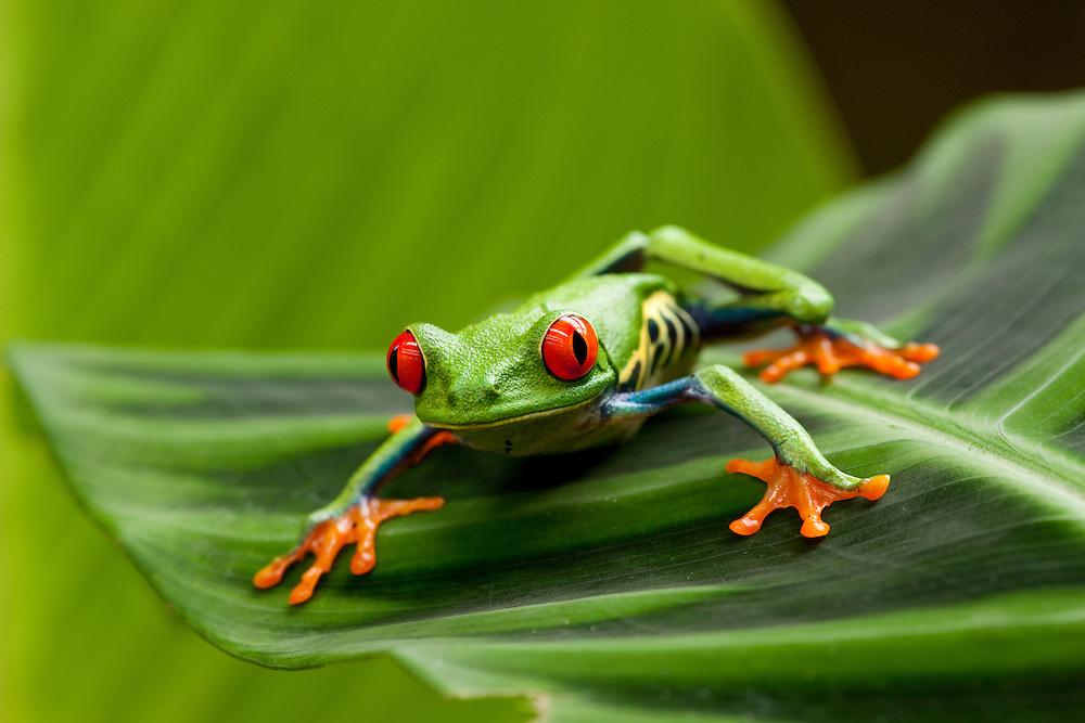 Costa Rica, Monteverde, Red-Eyed Tree Frog (Agalychnis callidryas) in captivity