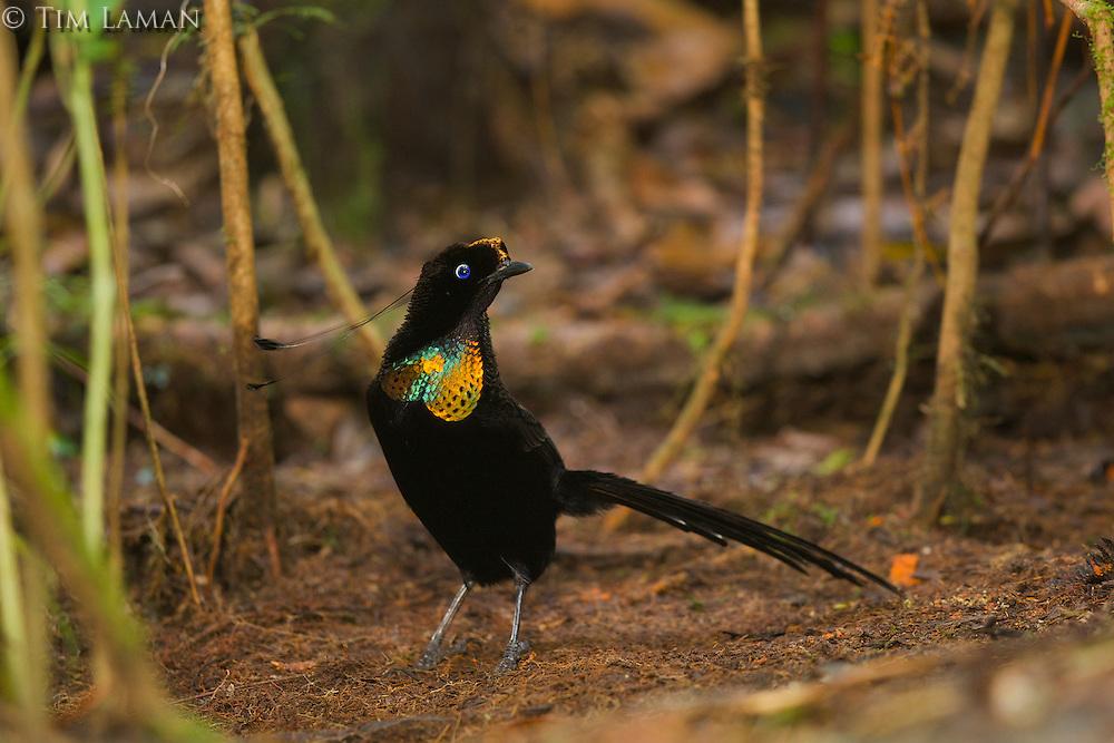 Wahnes's Parotia Bird-of-Paradise (Parotia wahnesi) male at his display court.