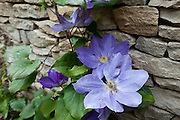Blue clematis climbing shrub in English cottage garden in Swinbrook in The Cotswolds, Oxfordshire, UK
