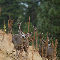 trophy mule deer bucks rubbing antlers