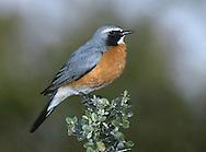 White-throated Robin - Irania guttaralis