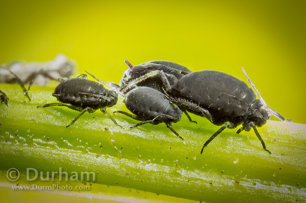 Black bean aphids (Aphis fabae) feeding from a plant stem in a garden in western Oregon. © Michael Durham / www.DurmPhoto.com