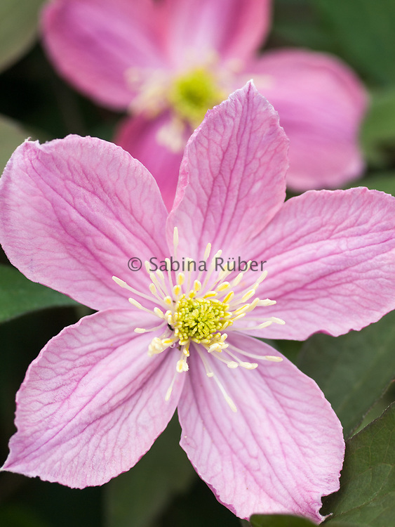 Clematis montana 'Pictons Variety' - mountain clematis