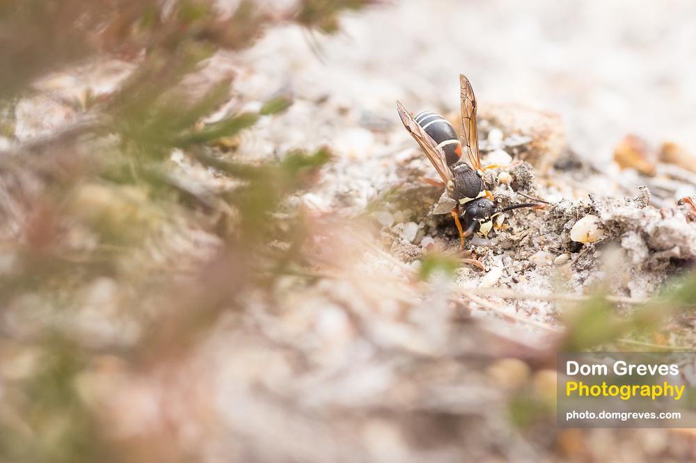 Purbeck mason wasp (Pseudepipona herrichii). Godlingston Heath, Purbeck, UK.
