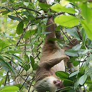 Hofmann's two-toed Sloth, stretched out downward, moves its arm to pull a branch of leaves closer to eat