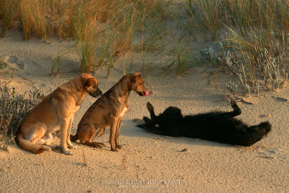 PRT, Portugal: Streunender Hund, Haushund (Canis lupus familiaris), Paar (Männchen links, Weibchen rechts) sitzen am Strand, ihr Freund liegt neben ihnen und rollt sich herum, er versucht sie zum Spielen einzuladen, Monte Gordo, Algarve | PRT, Portugal: Stray dog, domestic dog (Canis lupus familiaris), couple (male left, female right) sitting at the beach, their friend next to them is laying on its back rolling around, trying to invite them to a play, Monte Gordo, Algarve |