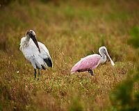 Wood Stork and Roseate Spoonbill. Biolab Road in Merritt Island National Wildlife Refuge. Image taken with a Nikon D3x camera and 600mm f/4 VR lens (ISO 100, 600 mm, f/4, 1/400 sec).