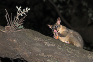 Australian urban fauna