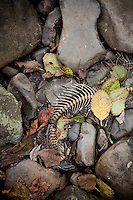 Skeleton of salmon decomposing into streambed. Salmon feed entire ecosystems when they return to their natal rivers. From animals to humans to insects to streamside vegetation.