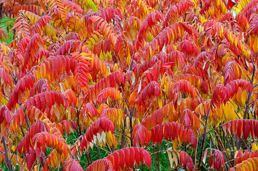 Staghorn Sumac, Rhus typhina, Lapeer County, Michigan