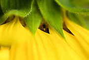 Close up of a yellow sunflower