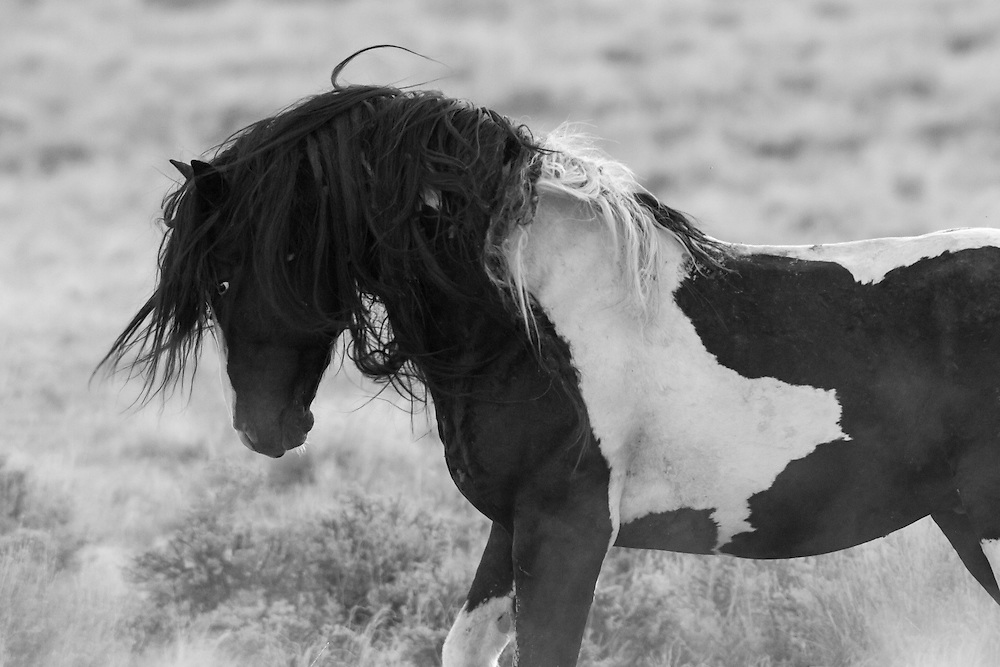 After removal of his family band during a BLM bait-trapping operation, Washakie returns from weeks spent alone to join a familiar band of bachelor stallions.