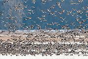 Canada Geese, Branta canadensis, Shiawassee River, Saginaw County, Michigan