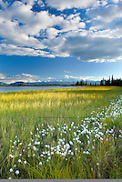 Tufts of cotton grass (Eriophorum angustifolium) growing along small lake in Wrangell-St. Elias National Park Alaska