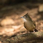 Ochraceous Bulbul (Alophoixus ochraceus) in Kaeng Krachan National Park, Thailand.
