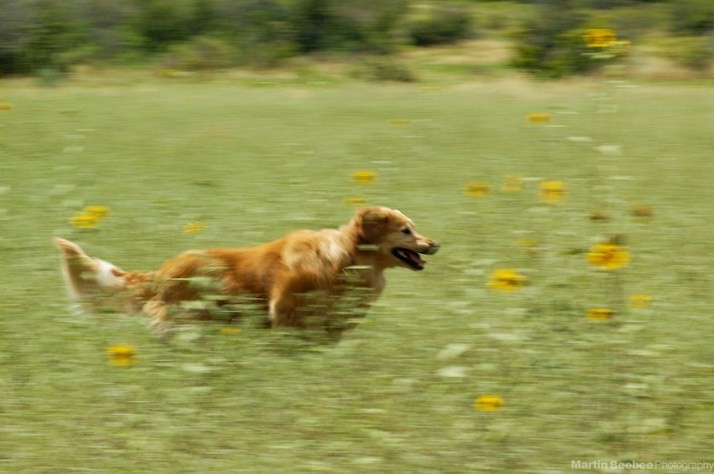 Golden retriever running through field of wildflowers, Prescott National Forest, Arizona