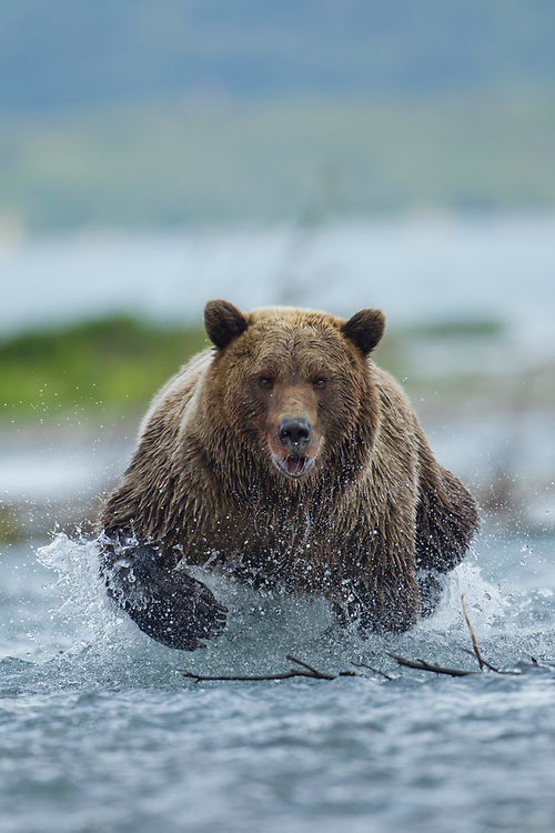 USA, Alaska, Katmai National Park, Grizzly Bear (Ursus arctos) runs while fishing for spawning salmon in in river along Kukak Bay