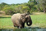 Elephant feeding at waterhole. Yala National Park.
